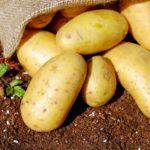 ジャガイモ収穫しました